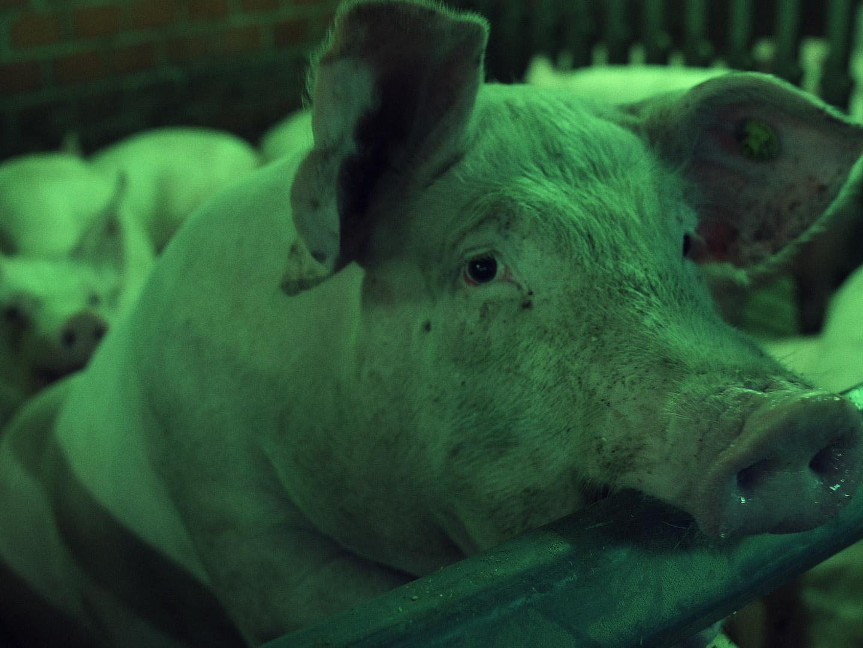 Regeln am Band, mit hoher Geschwindigkeit - Schwein im Schlachtbetrieb